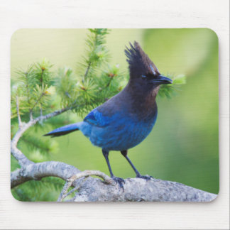 Steller's Jay 3 Mouse Pad