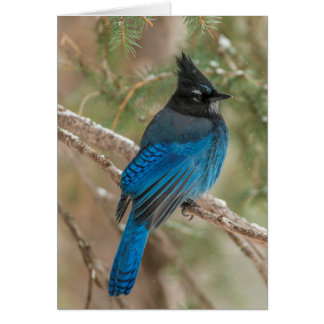 Steller's jay bird in tree card