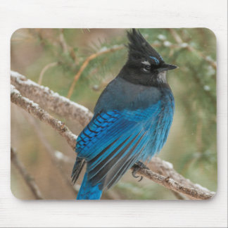 Steller's jay bird in tree mouse pad