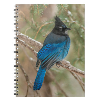 Steller's jay bird in tree notebook