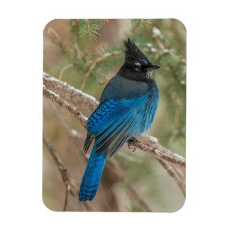 Steller's jay bird in tree rectangular photo magnet