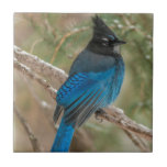 """Steller&#39;s jay bird in tree tile<br><div class=""""desc"""">Jaynes Gallery / DanitaDelimont.com 