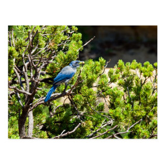 Stellers Jay ( Cyanocitta Stelleri ) Postcard