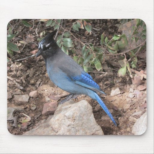 Steller's Jay Mouse Pads