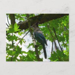 Steller's Jay Postcard postcard