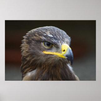 Steppe Eagle Close-Up Portrait Poster