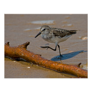 Stepping Sandpiper Poster