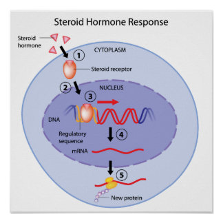 Steroid hormone action Poster