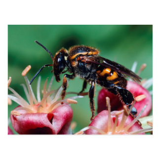 Stingless Bee (Meliponini) Collecting Nectar Postcard