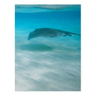 Stingray Cruising the Caribbean Postcard