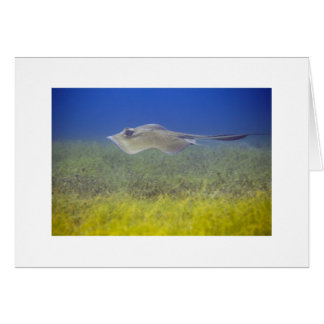 Stingray in seagrass in St. Barthélemy Card