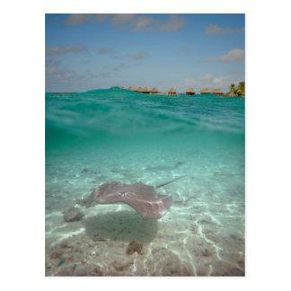 Stingray underwater in Bora Bora Postcard