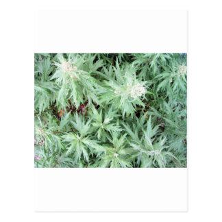 stink weed postcard