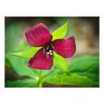 Stinking Benjamin Red Trillium Wildflower Photographic Print