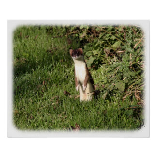 Stoat 9Y253D-210 Poster