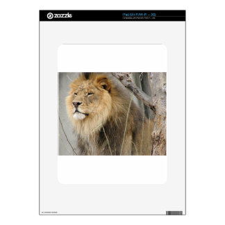 Stoic Lion Looking Off into the Distance iPad Skins
