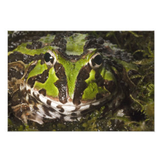 Stolzmanni de cuernos pacífico de Ceratophrys de l Cojinete