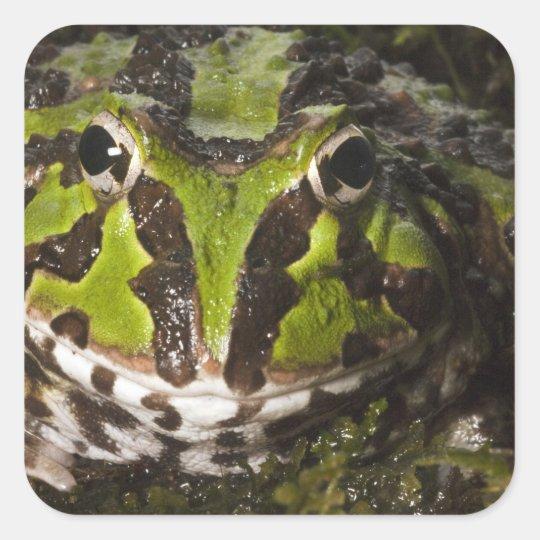 Stolzmanni de cuernos pacífico) de Ceratophrys de Pegatina Cuadrada