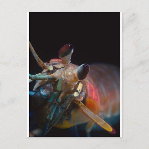 Stomatopod Mantis Shrimp Postcard