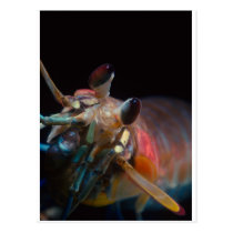 Stomatopod (Mantis Shrimp) Postcard