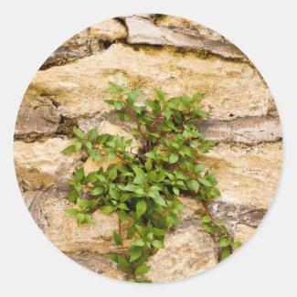 Stone Plants