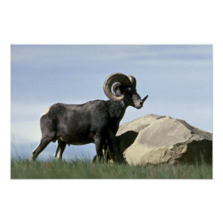 stone sheep (Large ram) Posters