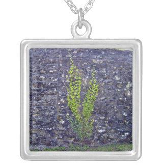 Stonewall con las plantas que suben grimpola