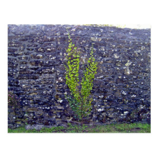 Stonewall with climbing plants postcard