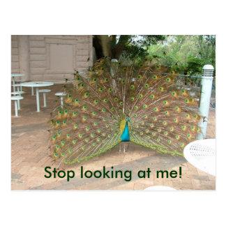 Stop looking at me Peacock Postcard