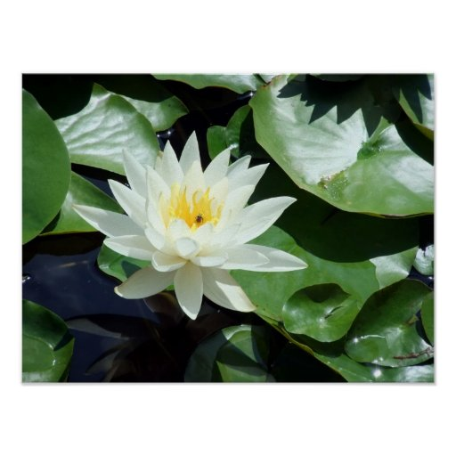 Stopping By/Summer Pond White Waterlily & Insect Posters