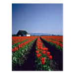 Straight Rows Of Red Tulips And Barn flowers Post Cards