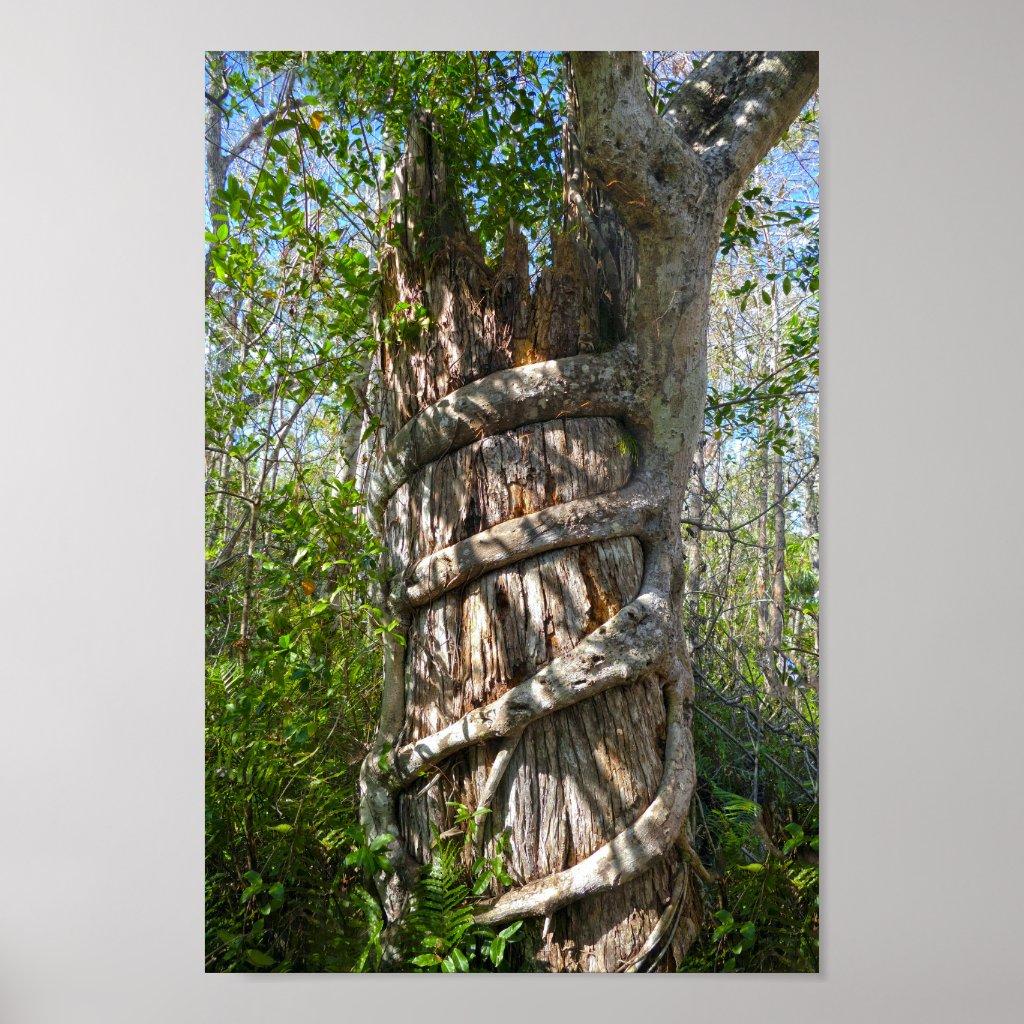 4176938c5db Strangler Fig in Big Cypress Nature Preserve