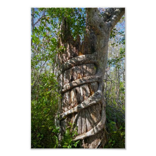 Strangler Fig, Big Cypress Swamp, Florida Poster