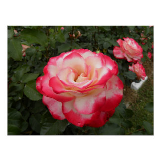 Strawberries and Cream Rose 2 Poster