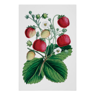 STRAWBERRIES botanical print
