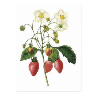 Strawberry botanical illustration postcard