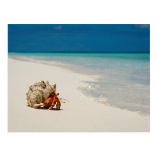 Strawberry Hermit Crab   Coenobita Perlatus Postcard