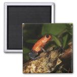 Strawberry Poison-dart frog (Dendrobates 2 2 Inch Square Magnet