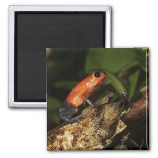 Strawberry Poison-dart frog (Dendrobates 2 2 Inch Square Magnet