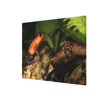 Strawberry Poison-dart frog (Dendrobates 2 Canvas Print