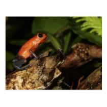 Strawberry Poison-dart frog (Dendrobates 2 Postcard