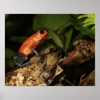 Strawberry Poison-dart frog (Dendrobates 2 Poster