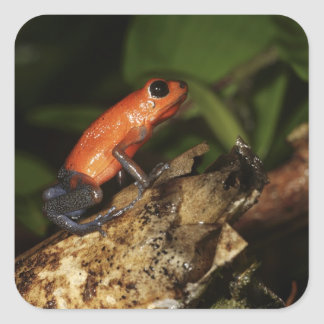 Strawberry Poison-dart frog (Dendrobates 2 Square Sticker