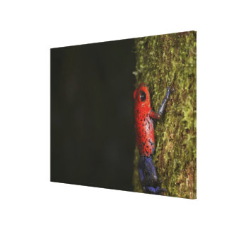 Strawberry Poison-dart frog (Dendrobates Canvas Print