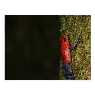 Strawberry Poison-dart frog (Dendrobates Postcard