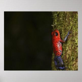Strawberry Poison-dart frog (Dendrobates Poster