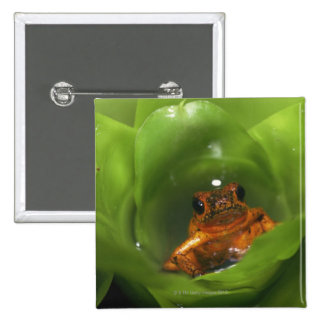 Strawberry poison frog hiding in leaves button