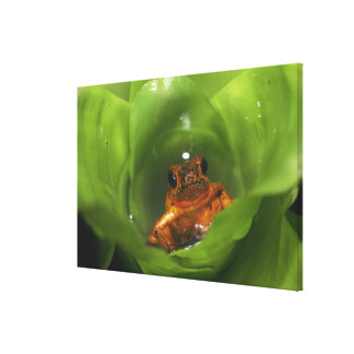 Strawberry poison frog hiding in leaves canvas print