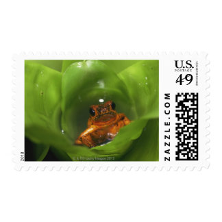 Strawberry poison frog hiding in leaves postage