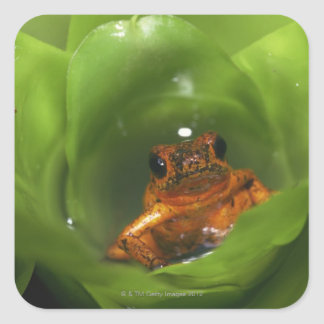 Strawberry poison frog hiding in leaves square sticker